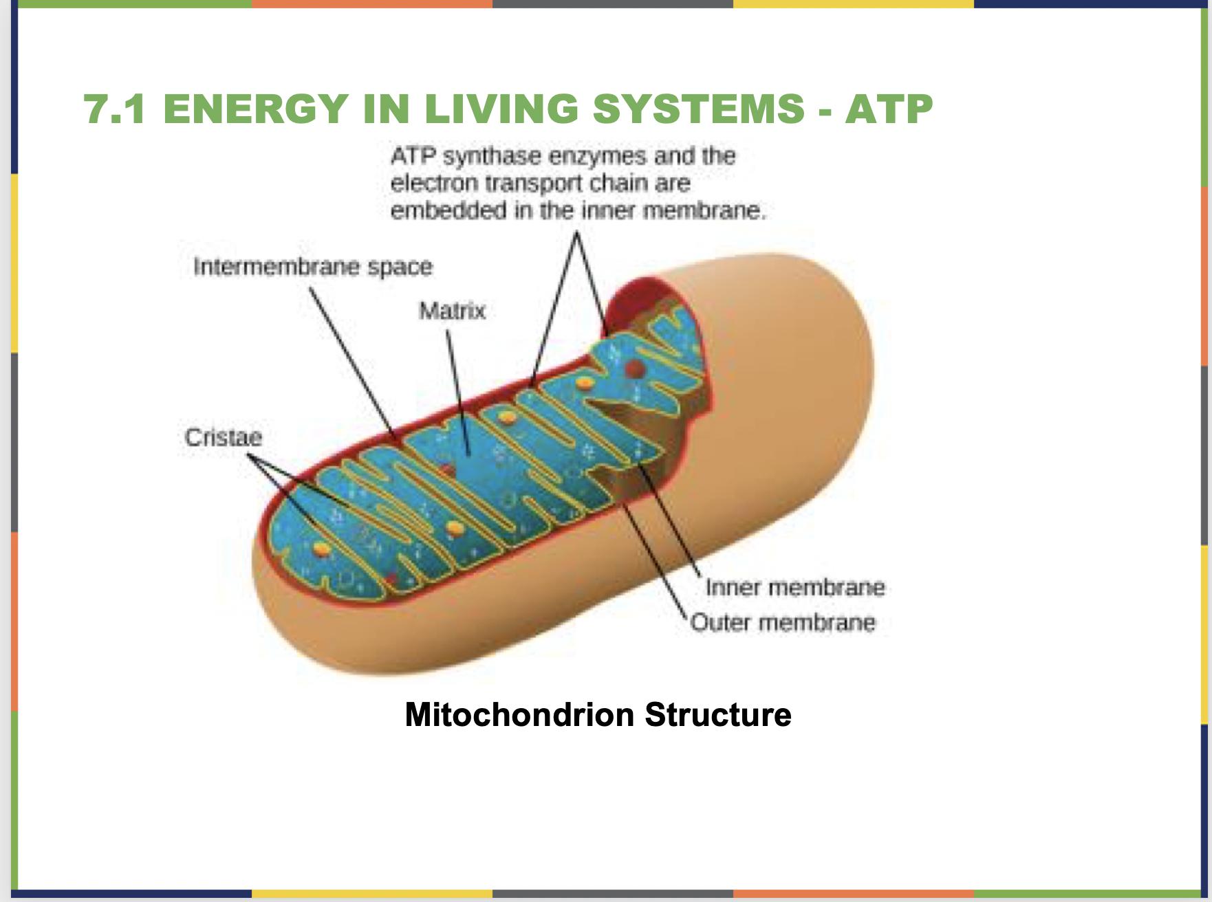Cellular Respiration Slide