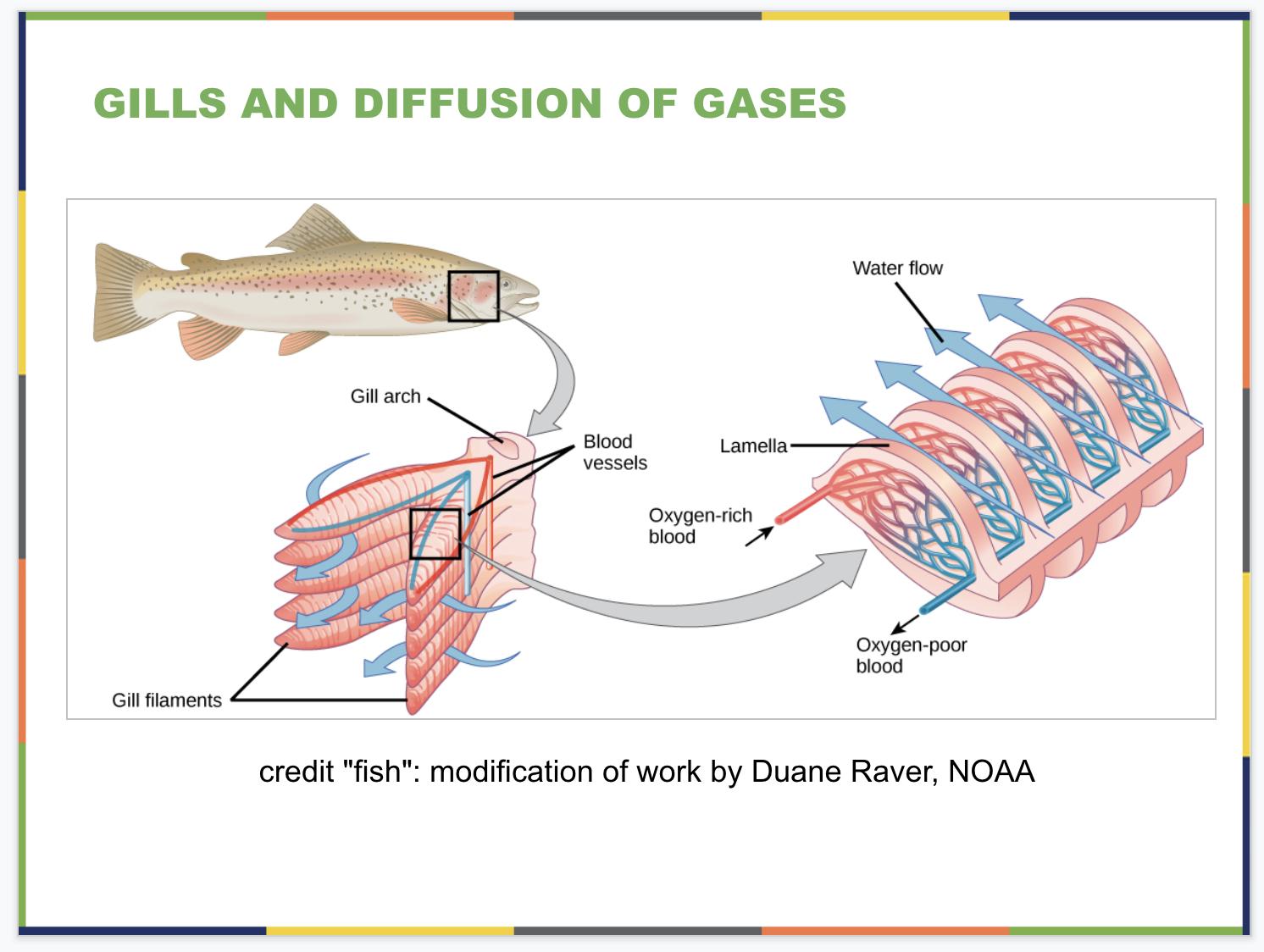 The Respiratory System Slide